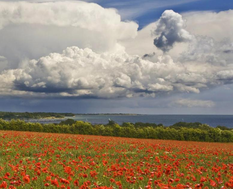 Poppies blooming at the Gendarme Path in the Sønderborg-area