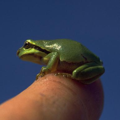 Tiny European tree frog on finger tip on island Als in the Sønderborg-area